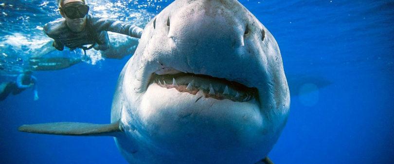 Investigan cómo el tiburón podrá ayudar a salvar vidas humanas