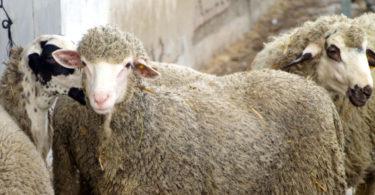 Fecundan con esperma congelado a 34 ovejas merinas