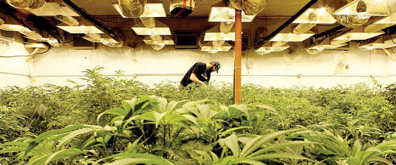 Dicta Secretaría de Salud lineamientos para la regulación de la Cannabis